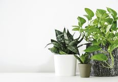 Golden pothos and snake plant on the white wooden table. With copy space home and garden concept royalty free stock image