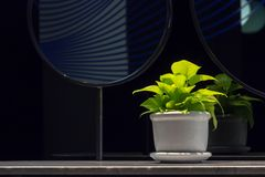 Golden pothosEpipremnum aureum in a porcelain pot on bathroom counter next to mirror  with copy space. Devil`s ivy is one of ai stock photos