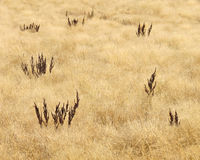 Golden prairie grass background Stock Images
