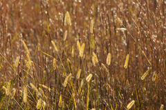 Golden Prairie Grass Plumes. These are prairie grass plumes that are illuminated by the sun making them glow golden, these are growing in Morgan County Alabama Royalty Free Stock Photos