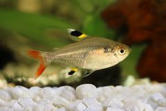 Golden pristella tetra Pristella maxillaris X-ray tetra aquarium fish isolated Stock Images