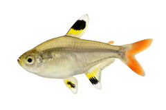 Golden pristella tetra Pristella maxillaris X-ray tetra fish isolated on white Royalty Free Stock Photos