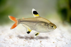 Golden pristella tetra Pristella maxillaris X-ray tetra fish  Royalty Free Stock Photo