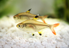 Golden pristella tetra Pristella maxillaris X-ray tetra fish  on white Stock Photo