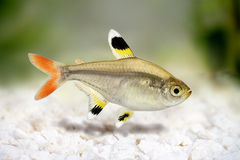 Golden pristella tetra Pristella maxillaris X-ray tetra fish  on white Royalty Free Stock Image