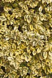 Golden Privet Royalty Free Stock Photo