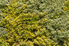 Golden privet hedge Royalty Free Stock Photo