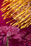 Golden protea and daisy. Yellow South African Protea and pink daisy Royalty Free Stock Photography