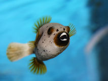 Golden puffer fish Royalty Free Stock Photo
