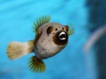 Golden puffer fish. Aquarium ugly golden puffer fish showing teeth Royalty Free Stock Photo