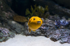 Golden Puffer Fish Stock Image