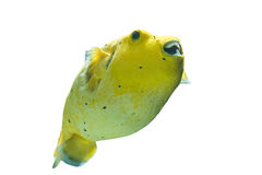 Golden Pufferfish Royalty Free Stock Images