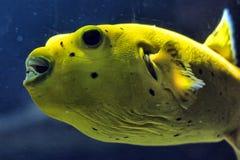 Golden Pufferfish Stock Image