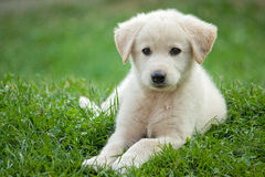 Golden pup Stock Image