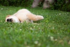 Golden pup. Golden retriever pup rolling in grass Stock Photo
