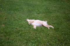Golden pup. Golden retriever pup rolling in grass Royalty Free Stock Photo