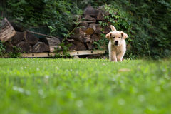 Golden pup running. Golden retriever pup running in yard Royalty Free Stock Photography