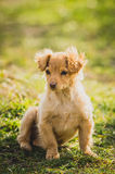 Golden puppy Stock Image