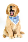 Golden puppy with open mouth on white background Stock Image