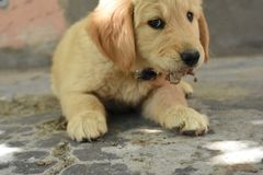 Golden puppy royalty free stock photo
