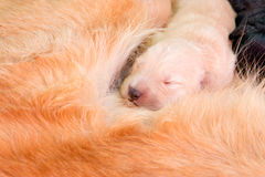 Golden puppy sleep. On its mother& x27;s back Royalty Free Stock Image