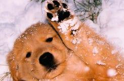 Golden puppy Royalty Free Stock Photos