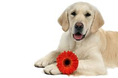 Golden purebread retriever dog Stock Photo