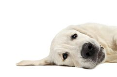 Golden purebread retriever dog Royalty Free Stock Photos