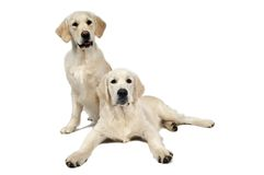 Golden purebread retriever dog Stock Images