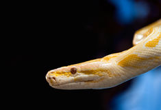 Golden python Royalty Free Stock Images