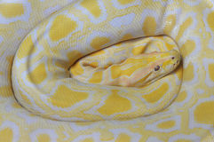 Golden python Stock Photography