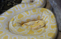 Golden python Stock Image