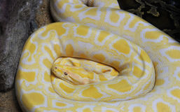 Golden python Royalty Free Stock Photography
