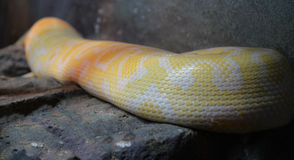 Golden python Stock Images