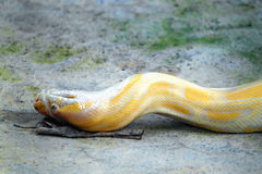 Golden Python Snake Royalty Free Stock Photo