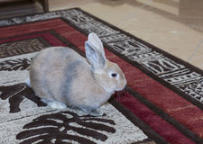 Golden rabbit domesticated pet, looking ahead. Suitable for children Royalty Free Stock Images