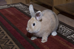 Golden rabbit domesticated pet, looking ahead. Suitable for children Stock Images