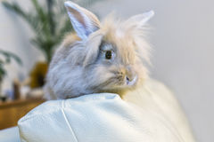 Golden rabbit sitting on the couch, domesticated pet, looking ahead. Suitable for children Royalty Free Stock Photos