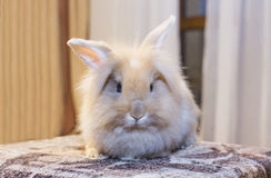 Golden rabbit sitting on the couch, domesticated pet, looking ahead. Suitable for children Stock Photography