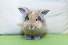 Golden rabbit sitting on the couch, domesticated pet, looking ahead. Suitable for children Stock Images