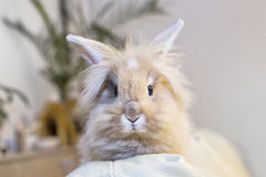 Golden rabbit sitting on the couch, domesticated pet, looking ahead. Suitable for children Royalty Free Stock Image