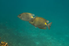 Golden rabbitfish (Siganus guttatus) Stock Photography