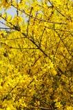 Golden rain branches Stock Photo