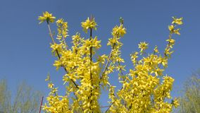 Golden rain bush blooming in springtime. Golden rain bush blooming in spring stock footage