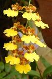 Golden Rain orchid Stock Photo