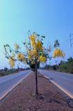Golden Rain Tree (Cassia fistula) Royalty Free Stock Photography