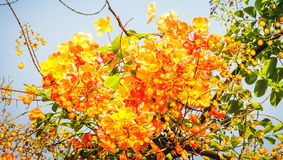 Golden Rain Tree. Cassia fistula, known as the golden rain tree, canafistula and by other names, is a flowering plant in the family Fabaceae Stock Images