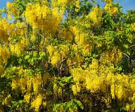 Golden Rain Tree in Full Bloom Royalty Free Stock Photos