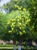 Golden Rain tree, Koelreuteria paniculata, unripe seed pods close-up, selective focus, shallow DOF Royalty Free Stock Photos