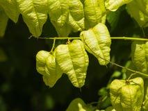 Golden Rain tree, Koelreuteria paniculata, unripe seed pods close-up, selective focus, shallow DOF Royalty Free Stock Image